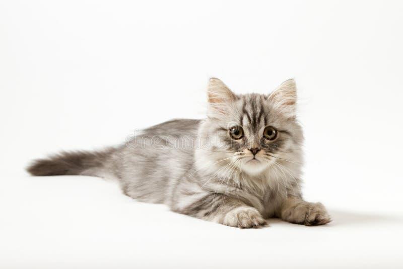 Шотландский прямой longhair котенок лежа на белой предпосылке стоковая фотография