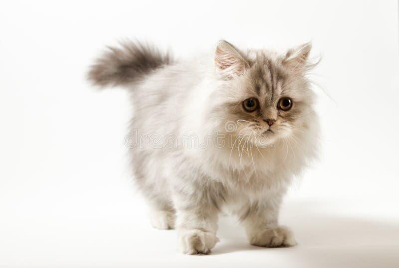 Шотландский прямой longhair котенок оставаясь 4 ногами против белой предпосылки стоковое фото