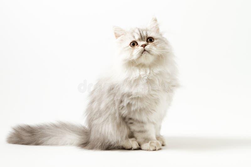 Шотландский прямой longhair котенок сидя на белой предпосылке стоковое фото rf