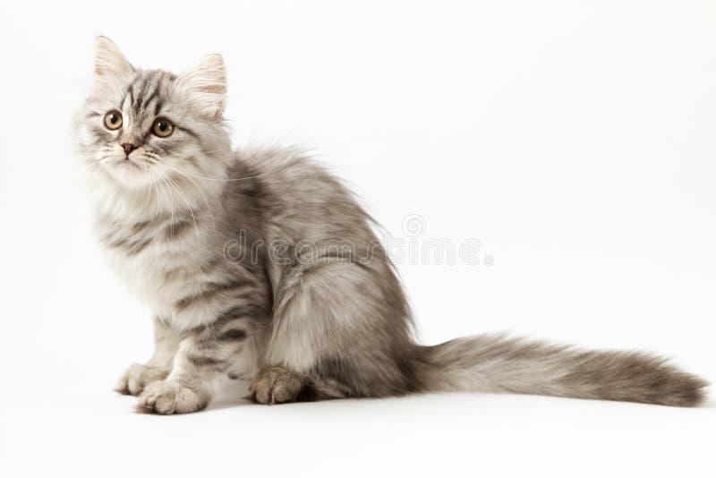 Шотландский прямой longhair котенок сидя на белой предпосылке стоковая фотография rf