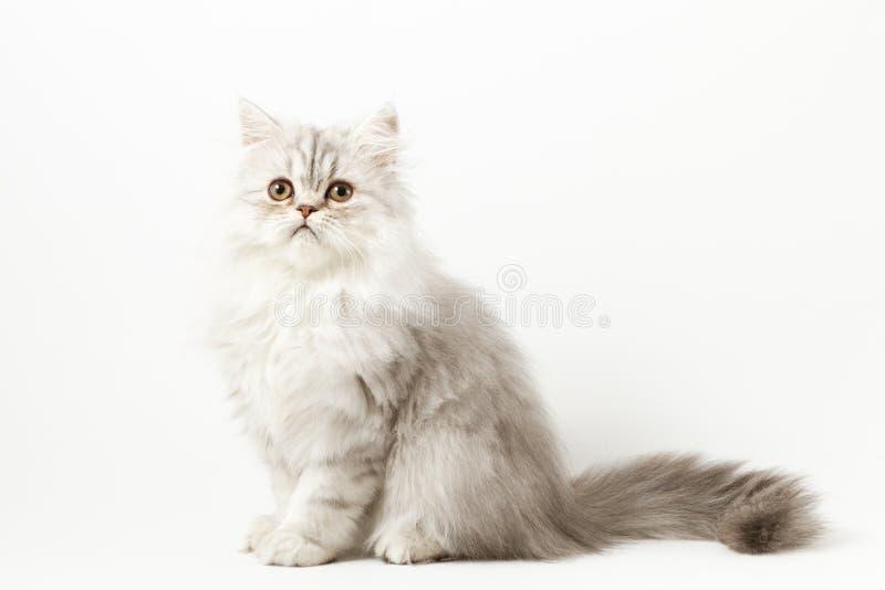 Шотландский прямой longhair котенок сидя на белой предпосылке стоковое фото