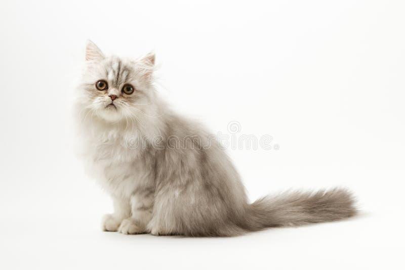 Шотландский прямой longhair котенок сидя на белой предпосылке стоковые изображения rf
