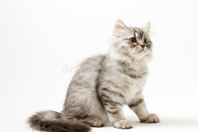 Шотландский прямой longhair котенок сидя на белой предпосылке стоковые изображения