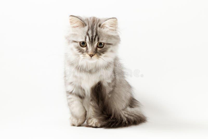Шотландский прямой longhair котенок сидя на белой предпосылке стоковые фотографии rf