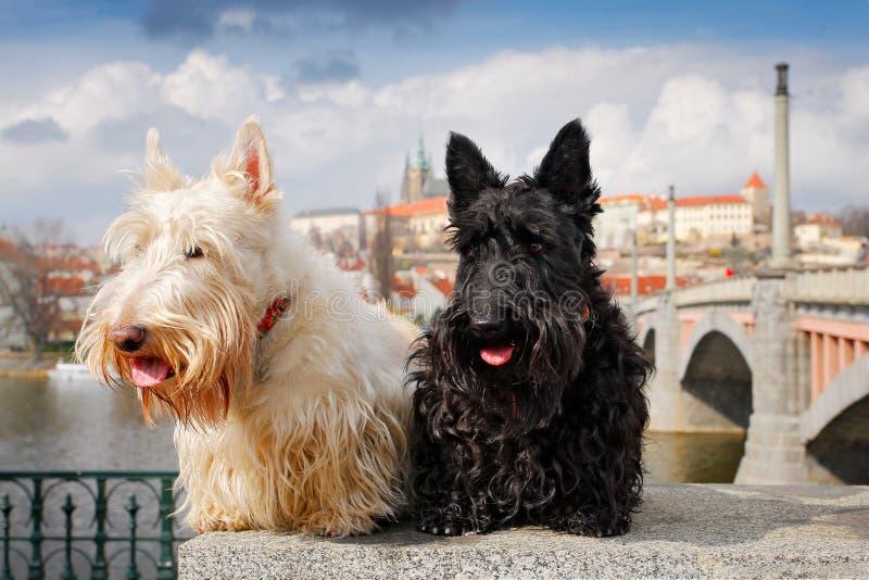 Шотландский терьер, черно-белая wheaten собака, пара красивых собак сидя на мосте, замке Праги на заднем плане Путешествия стоковые изображения rf