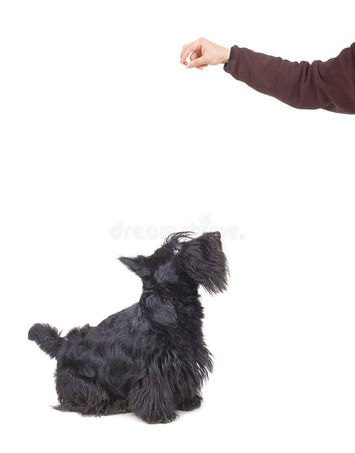 шотландский terrier стоковые изображения rf