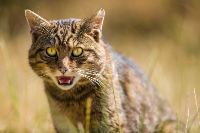 Шотландская дикая кошка стоковая фотография