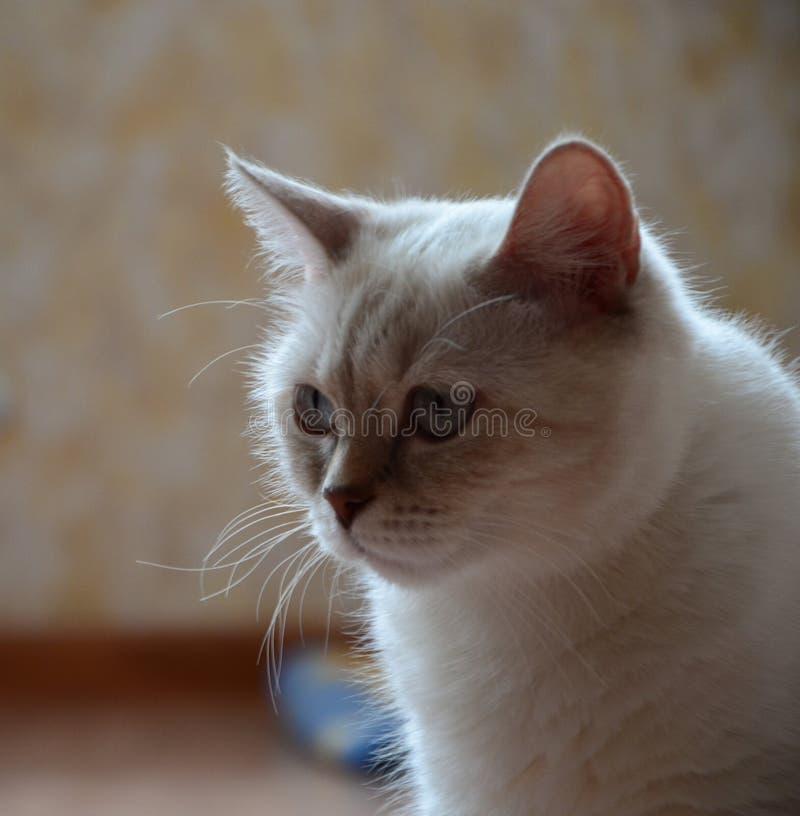 Шотландский белый кот стоковое изображение