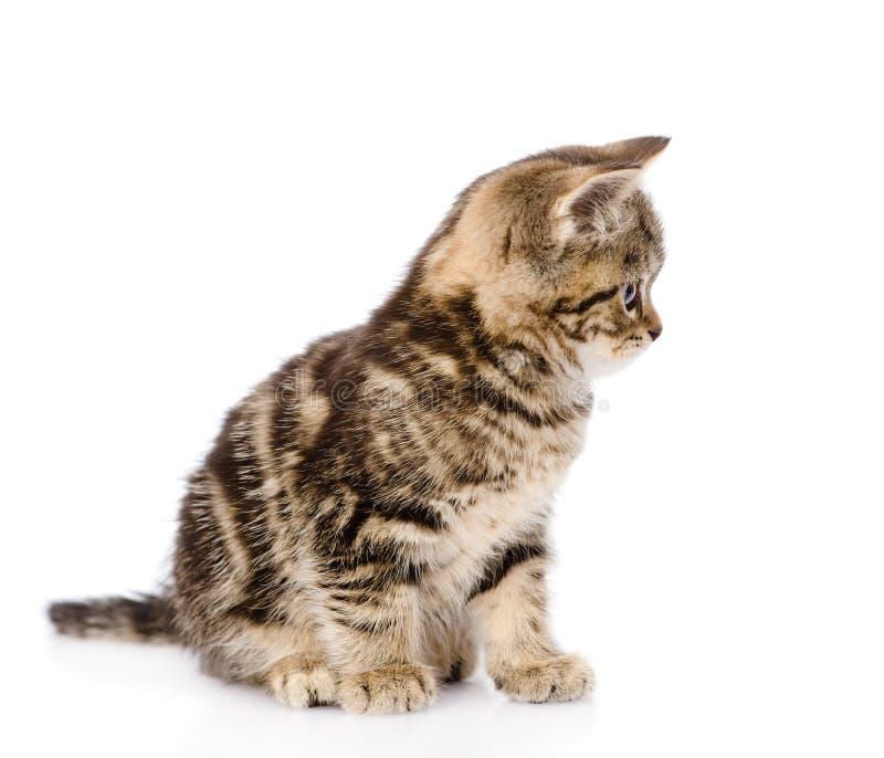 Шотландский котенок в профиле белизна изолированная предпосылкой стоковое изображение rf