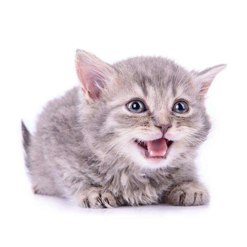 Шотландский котенок tabby стоковое фото rf