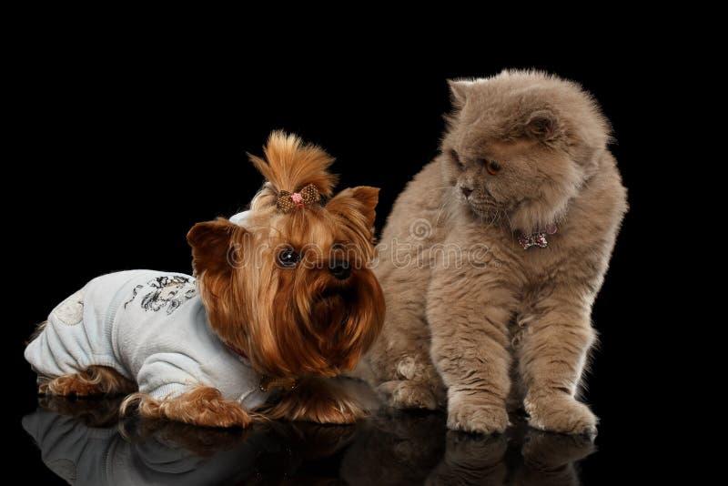 Шотландский кот и изолированная собака йоркширского терьера стоковые фото