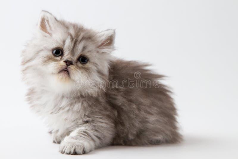 Шотландский прямой длинный котенок волос лежа на белой предпосылке стоковые изображения rf