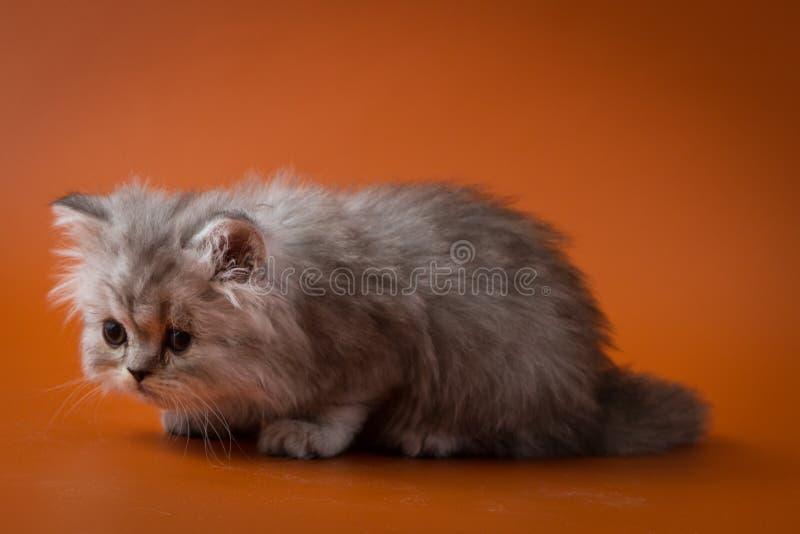 Шотландский прямой длинный котенок волос лежа на оранжевой предпосылке стоковое фото rf