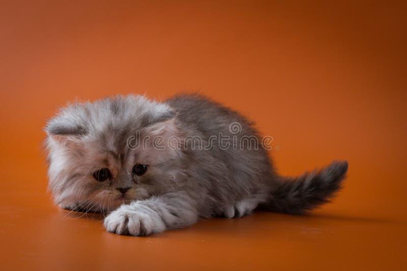 Шотландский прямой длинный котенок волос лежа на оранжевой предпосылке стоковые фото