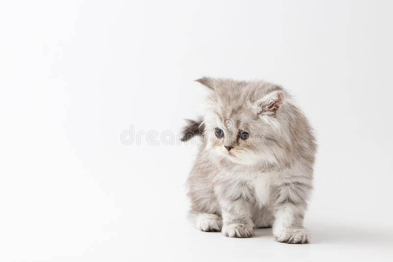 Шотландский прямой длинный котенок волос оставаясь 4 ногами стоковое фото