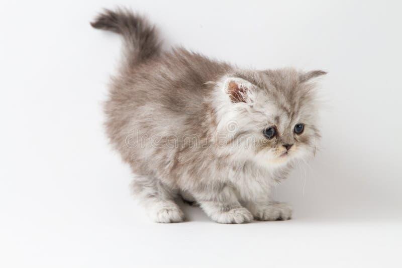 Шотландский прямой длинный котенок волос оставаясь 4 ногами стоковое изображение