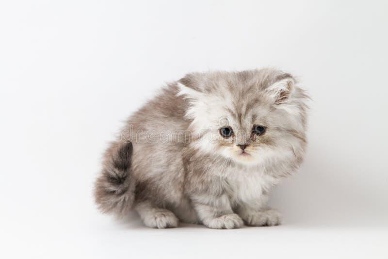 Шотландский прямой длинный котенок волос оставаясь 4 ногами стоковая фотография rf