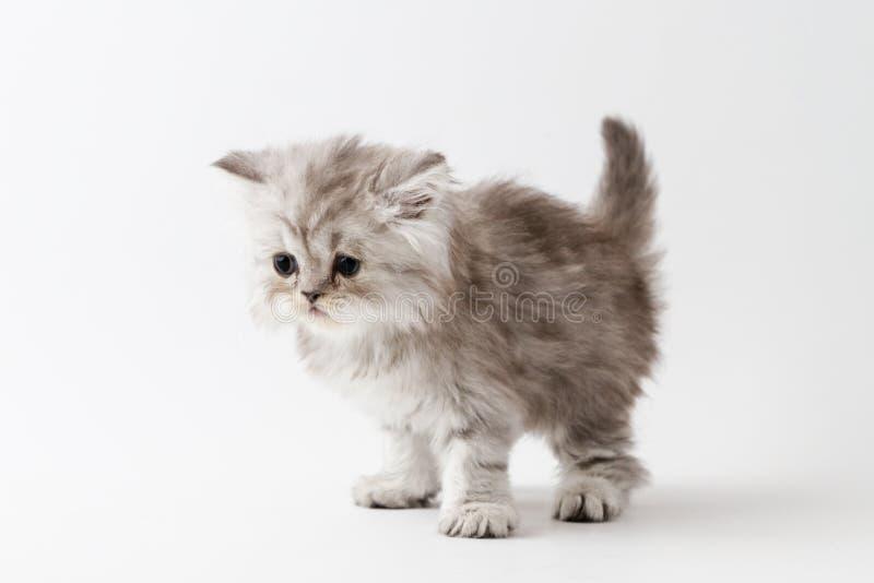 Шотландский прямой длинный котенок волос оставаясь 4 ногами стоковые фото