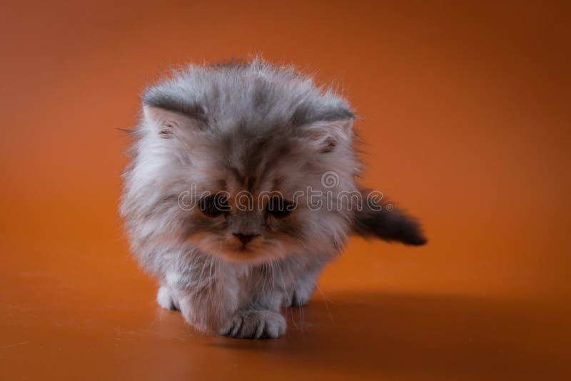 Шотландский прямой длинный котенок волос оставаясь 4 ногами стоковые фотографии rf