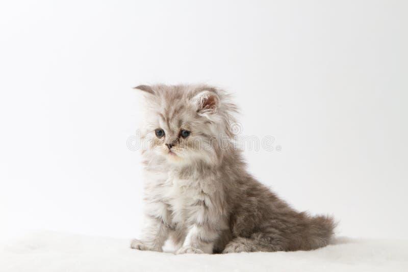 Шотландский прямой длинный котенок волос сидя на белой предпосылке стоковые изображения rf