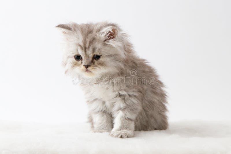 Шотландский прямой длинный котенок волос сидя на белой предпосылке стоковая фотография rf