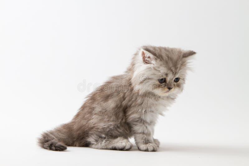 Шотландский прямой длинный котенок волос сидя на белой предпосылке стоковые фото