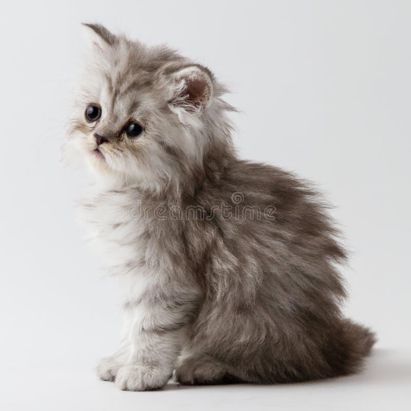 Шотландский прямой длинный котенок волос сидя на белой предпосылке стоковое фото