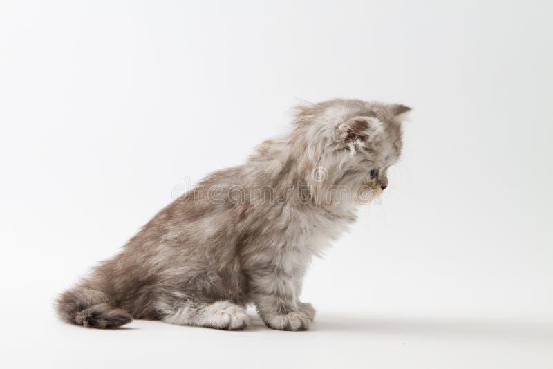Шотландский прямой длинный котенок волос сидя на белой предпосылке стоковые изображения