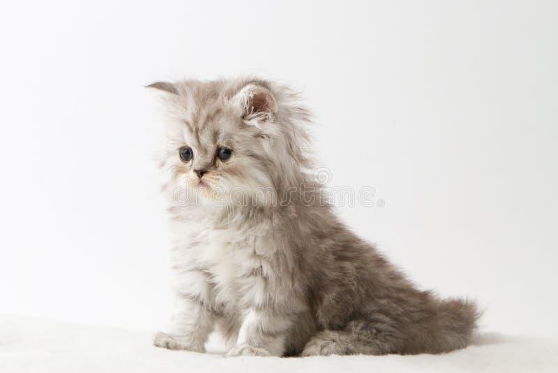 Шотландский прямой длинный котенок волос сидя на белой предпосылке стоковое фото rf