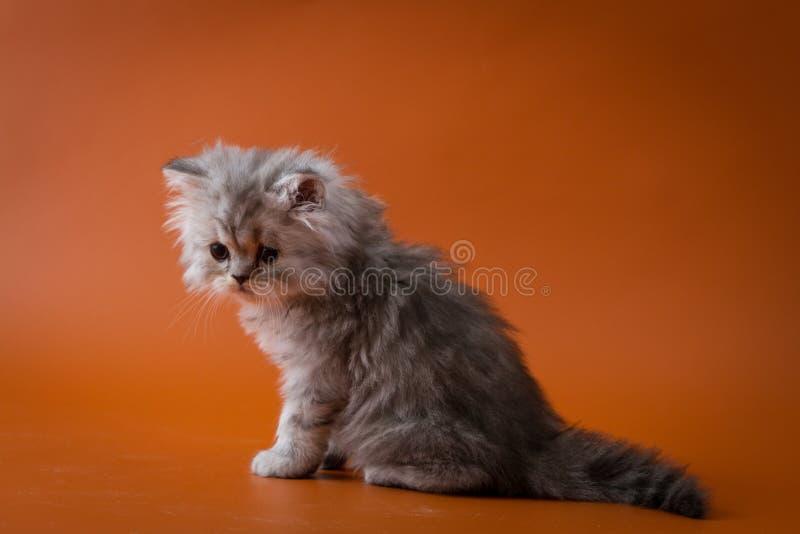 Шотландский прямой длинный котенок волос сидя на оранжевой предпосылке стоковые изображения rf