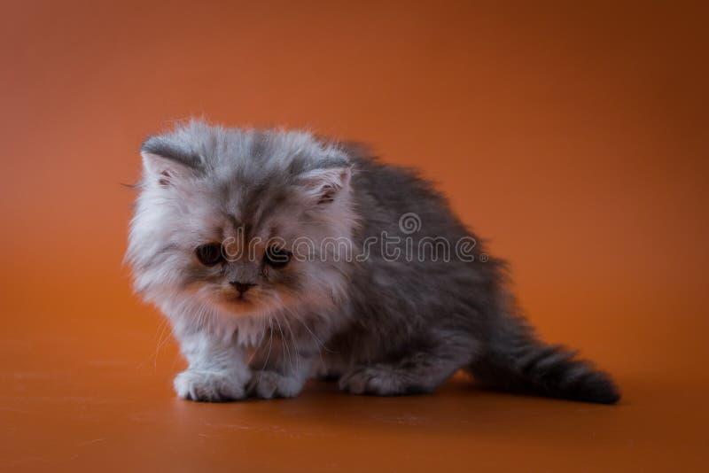 Шотландский прямой длинный котенок волос сидя на оранжевой предпосылке стоковое изображение rf