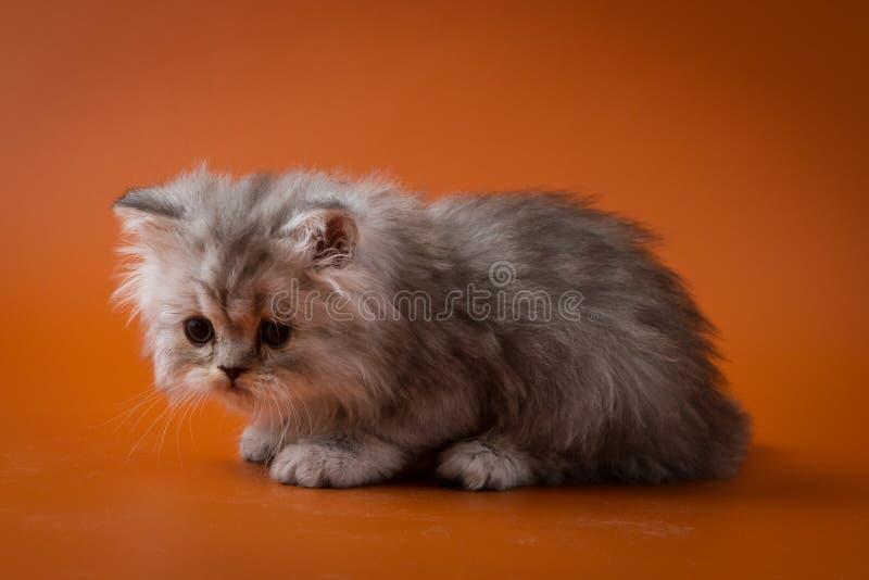 Шотландский прямой длинный котенок волос сидя на оранжевой предпосылке стоковые изображения
