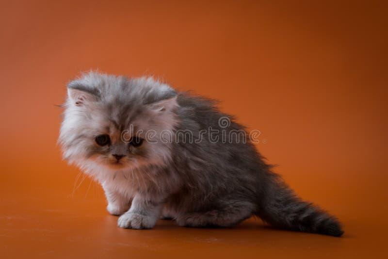 Шотландский прямой длинный котенок волос сидя на оранжевой предпосылке стоковые фотографии rf
