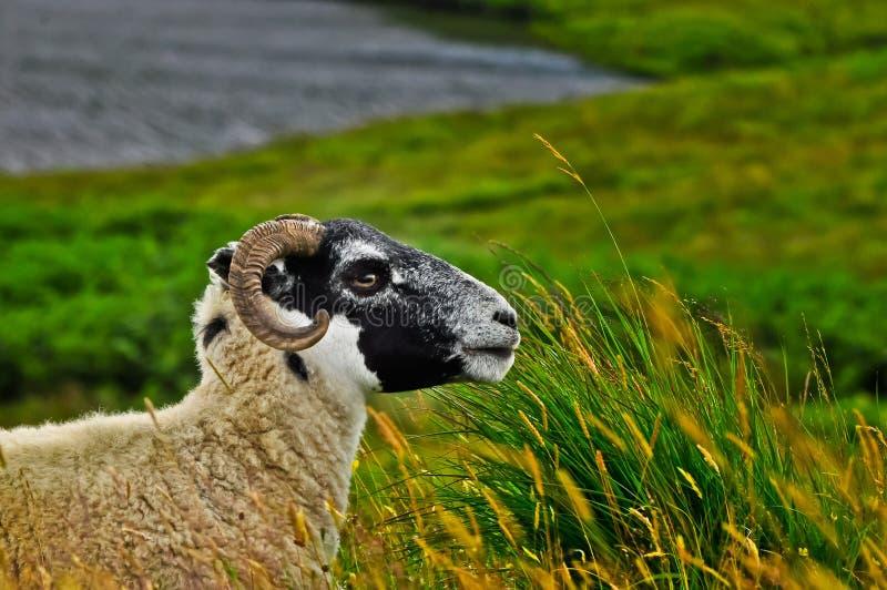 Шотландский Ram стоковое фото