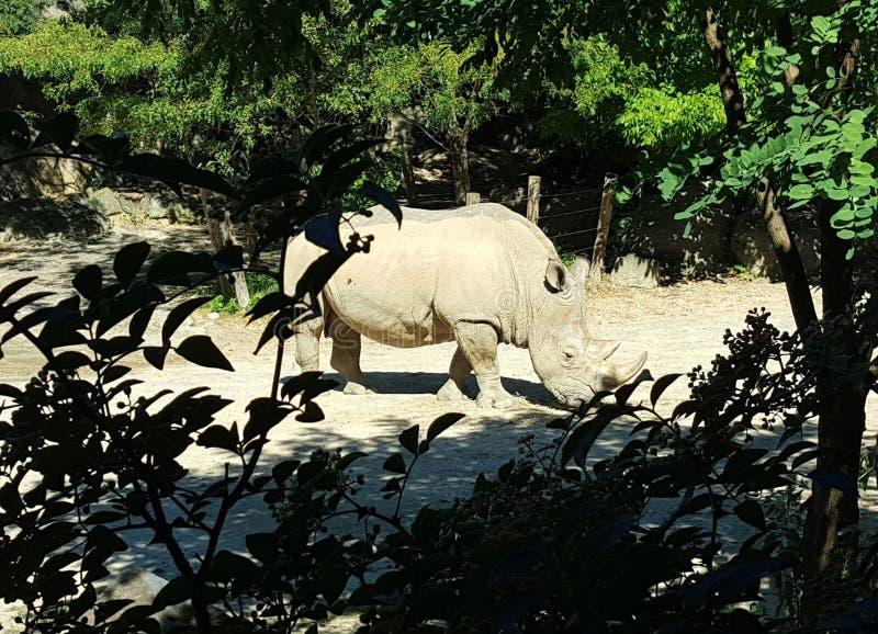 Шпионить на носороге стоковое изображение