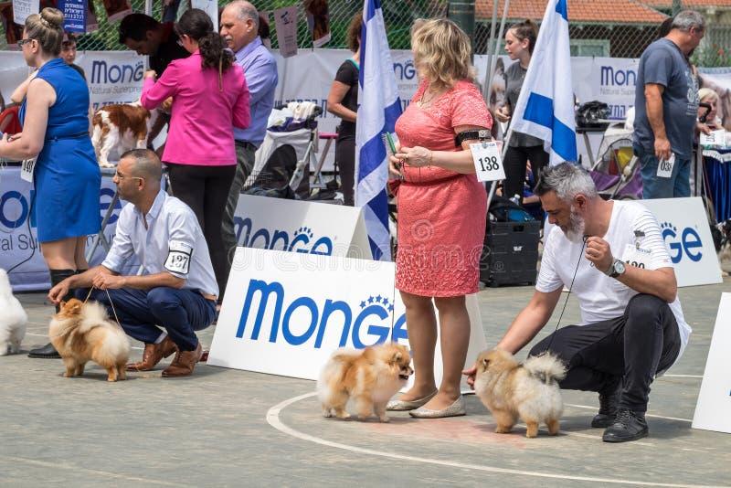 Шпицы Брайна и их предприниматели на выставке собак стоковое фото rf