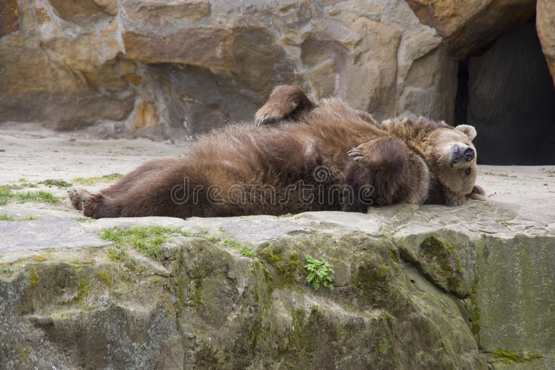 Шпоры логова хищника бурого медведя млекопитающиеся стоковая фотография