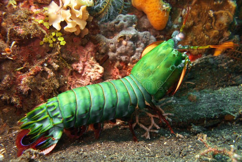 шримс mantis стоковая фотография rf