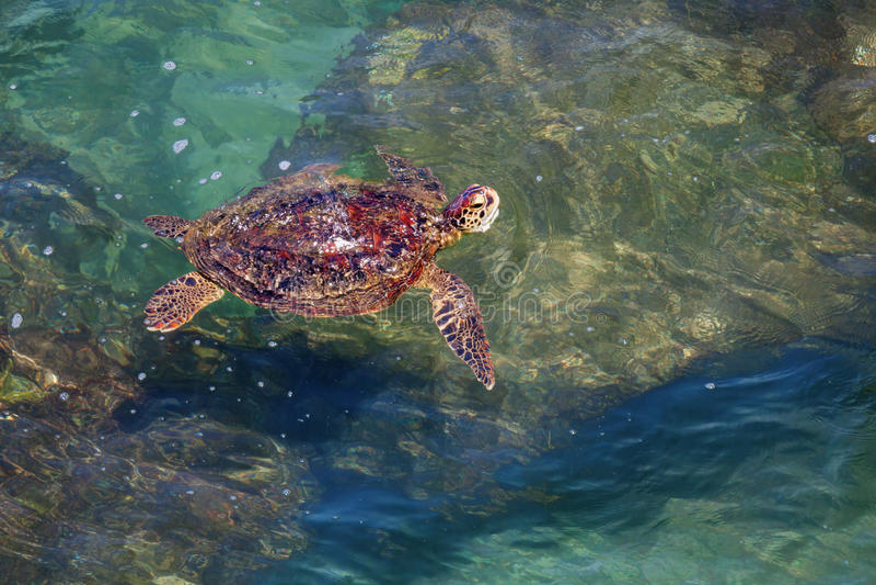 Шри-Ланка - заплывание черепахи в прибрежных волнах стоковое изображение rf