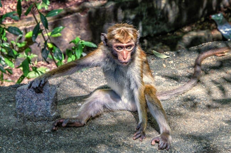 Шри-Ланка Monke стоковое фото rf