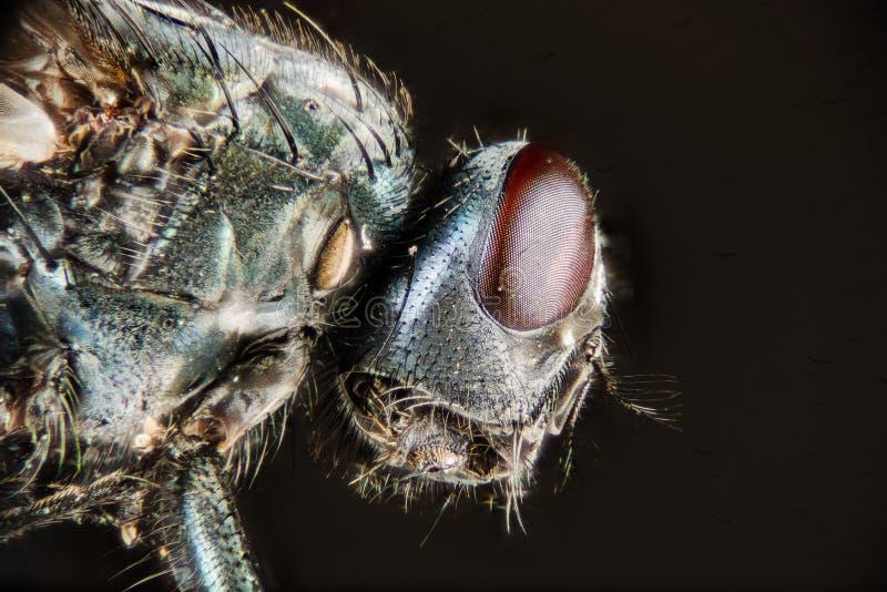 Штабелировать фокуса - общая зеленая муха бутылки, муха Greenbottle, летает стоковое фото rf