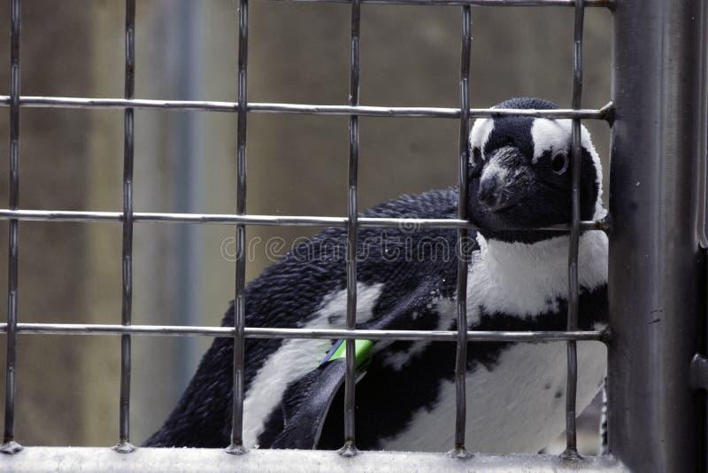 штанги за пингвином стоковая фотография