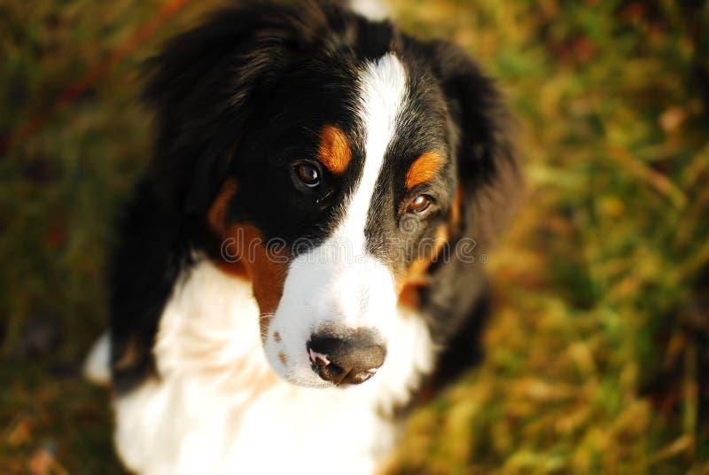 штилевая собака стоковые фотографии rf