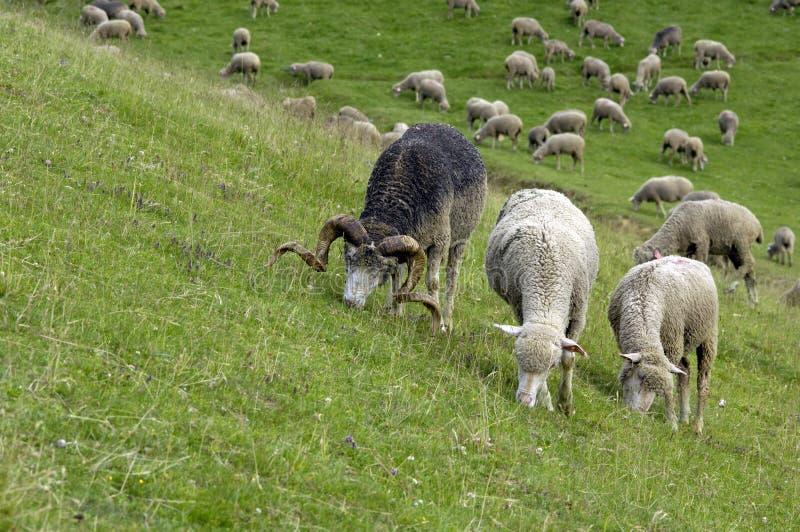 штоссель овцематок стоковое фото