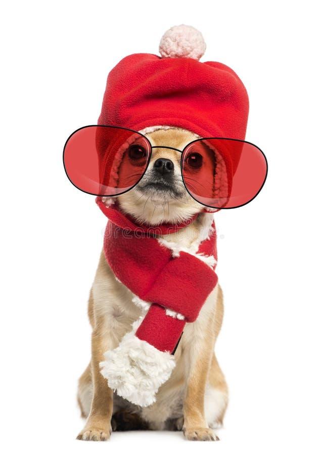 Шляпа рождества чихуахуа нося, шарф и сидеть стекел стоковое изображение rf