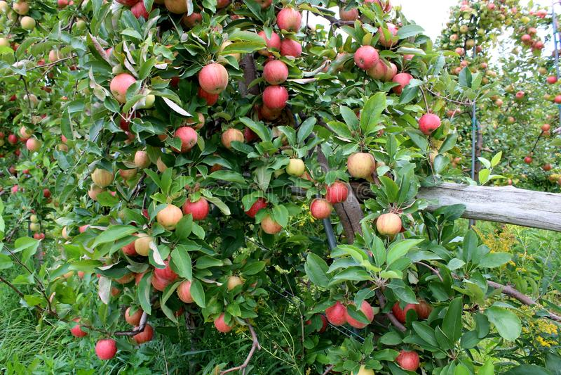 Щедрот ` s природы очевидно в яблонях при тяжел-гружёные ветви нося зрелый плодоовощ стоковые изображения rf