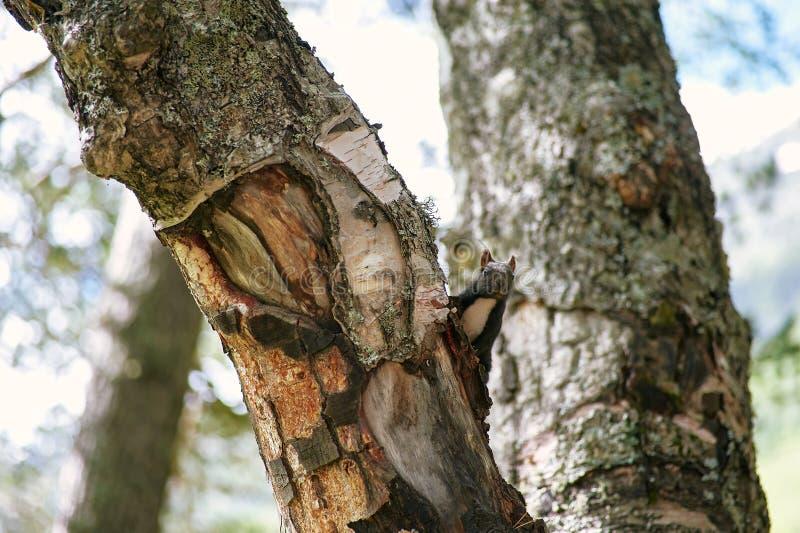 Щели черной белки из ствола дерева Близкая поднимающая вверх съемка дикой белки стоковая фотография rf