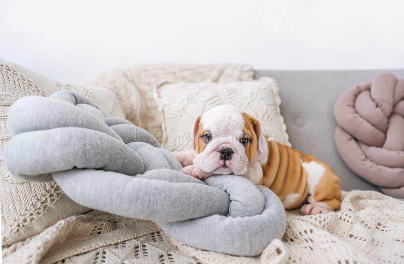 Щенок английского бульдога лежит на белых подушках на софе стоковые фотографии rf