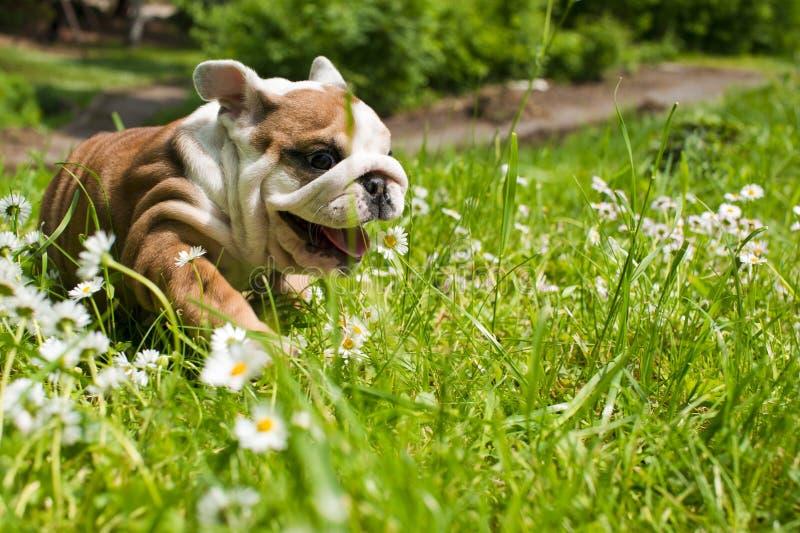 щенок английской языка бульдога стоковое фото rf