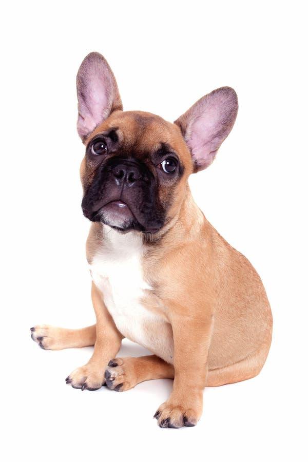 щенок бульдога французский маленький стоковая фотография rf